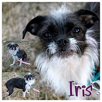 Chinese Crested/Boston Terrier Mix Dog for adoption in Garden City, Michigan - Iris
