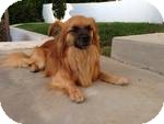 Pomeranian/Tibetan Spaniel Mix Dog for adoption in Culver City, California - Steller