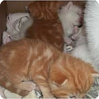 Adopt A Pet :: Saphirre's Orange Kittens - Acme, PA