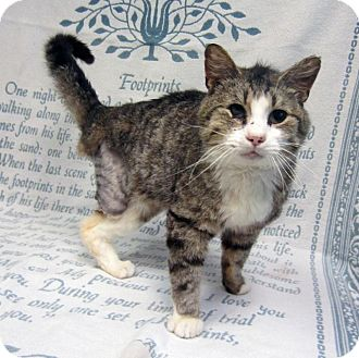 Domestic Shorthair Cat for adoption in Sidney, Ohio - Nope