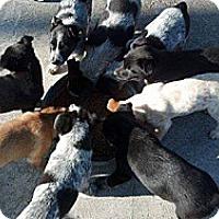 Adopt A Pet :: Collie/Aussie/Heeler puppies - Alliance, NE