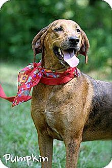 Redbone Coonhound/Bloodhound Mix Dog for adoption in Albany, New York - Pumpkin