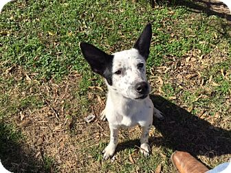 Blue Heeler/Border Collie Mix Puppy for adoption in White Settlement, Texas - Darla's Saleen (F1)
