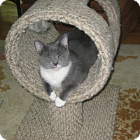Adopt A Pet :: Topcat - Alexandria, VA