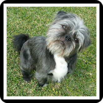 Shih Tzu/Pug Mix Dog for adoption in Winchester, California - NICK