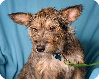 Terrier (Unknown Type, Medium) Mix Dog for adoption in Minneapolis, Minnesota - Dancer