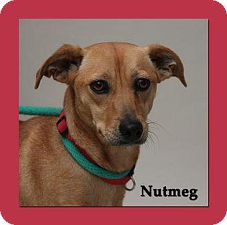 Carolina Dog Mix Dog for adoption in Aiken, South Carolina - Nutmeg