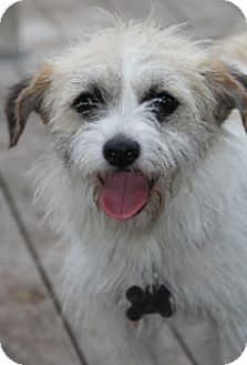 Cairn Terrier Mix Dog for adoption in Woonsocket, Rhode Island - Waffles