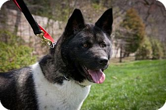 Akita Dog for adoption in Toms River, New Jersey - Gracie