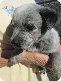 Manchester Terrier/Australian Cattle Dog Mix Puppy for adoption in Oswego, New York - Stewart