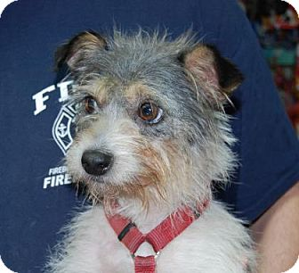 Jack Russell Terrier Mix Dog for adoption in Brooklyn, New York - Cooper