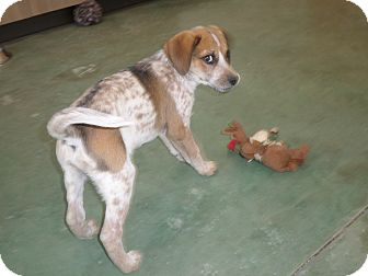 Cattle Dog/Beagle Mix Puppy for adoption in Edgewood, New Mexico - Scratch