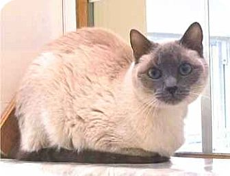 Siamese Cat for adoption in Davis, California - Nilla
