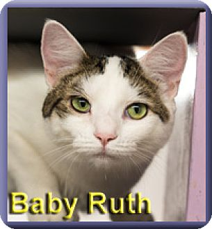 Domestic Shorthair Cat for adoption in Aldie, Virginia - Baby Ruth