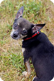 Chihuahua Mix Dog for adoption in Schererville, Indiana - Frankie
