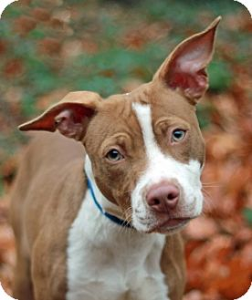 Pit Bull Terrier Mix Dog for adoption in Port Washington, New York - Dee-Dee