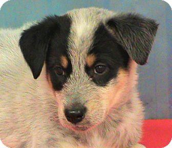 Australian Cattle Dog Mix Puppy for adoption in Maynardville, Tennessee - Rachel