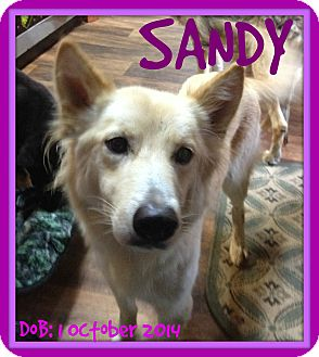 German Shepherd Dog Mix Dog for adoption in Albany, New York - SANDY