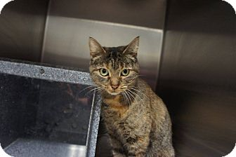 Domestic Shorthair Cat for adoption in Henderson, North Carolina - Sophie
