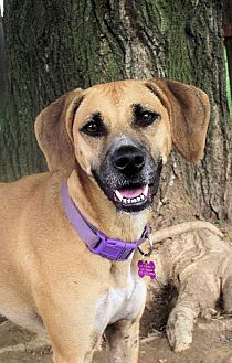 Rhodesian Ridgeback/Labrador Retriever Mix Dog for adoption in Elizabethtown, Pennsylvania - Carly