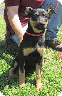 Miniature Pinscher/Blue Heeler Mix Puppy for adoption in Reeds Spring, Missouri - Natalia