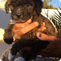 Adopt A Pet :: Birgit Nilsson, Born March 31 - Corona, CA