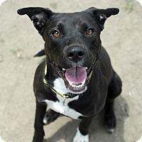 Adopt A Pet :: Noodle - Troy, MI