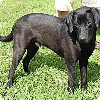 Labrador Retriever/Retriever (Unknown Type) Mix Dog for adoption in SUSSEX, New Jersey - Anthony (45 lb) Great Boat Dog