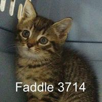 Adopt A Pet :: Faddle - Manassas, VA