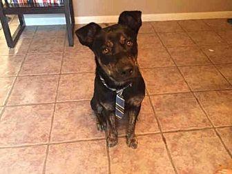 Labrador Retriever/Australian Cattle Dog Mix Dog for adoption in Austin, Texas - *DRAKE