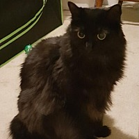 Domestic Longhair Cat for adoption in Greenville, Delaware - Sweetie & Shanti bonded (FCID# 02/09/17-201, 200)