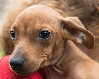 Terrier (Unknown Type, Small)/Poodle (Miniature) Mix Puppy for adoption in West Warwick, Rhode Island - Maskoki