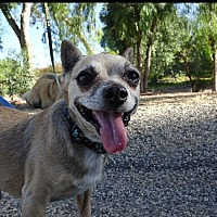 Chihuahua Mix Dog for adoption in Redondo Beach, California - Pepper