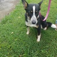 Adopt A Pet :: Rebel - Russellville, KY