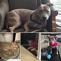 Adopt A Pet :: Cali - Winchester, VA