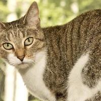 Adopt A Pet :: Precious - Cashiers, NC