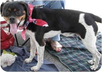 Rat Terrier/Chihuahua Mix Dog for adoption in Burbank, California - Momo
