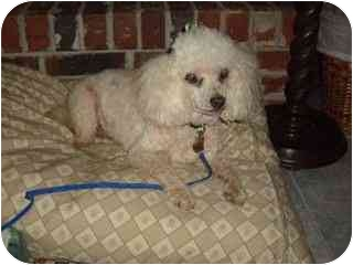 Miniature Poodle Dog for adoption in Melbourne, Florida - MINNIE PEARL
