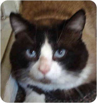 Siamese Cat for adoption in Quail Valley, California - Blue Two
