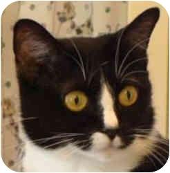 Domestic Shorthair Cat for adoption in Columbia, Illinois - Anastasia