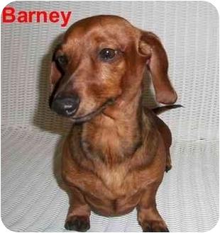 Dachshund Dog for adoption in Slidell, Louisiana - Barney