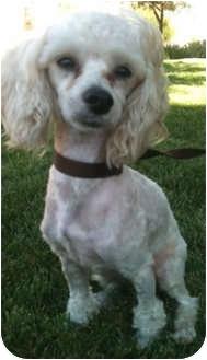 Poodle (Miniature) Mix Dog for adoption in Pasadena, California - CHARLIE