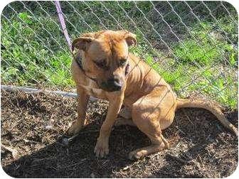 Shar Pei/Terrier (Unknown Type, Medium) Mix Dog for adoption in Bradenton, Florida - Clifford