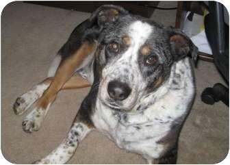 Catahoula Leopard Dog Mix Dog for adoption in Schaumburg, Illinois - Dakota