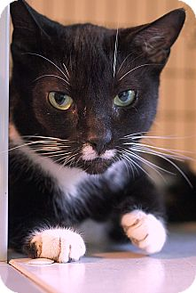 American Shorthair Cat for adoption in Victor, New York - Rosie