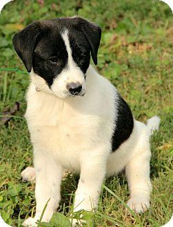 Border Collie/Labrador Retriever Mix Puppy for adoption in Spring Valley, New York - Jillian