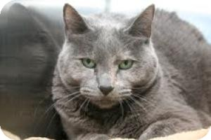 Domestic Shorthair Cat for adoption in East Brunswick, New Jersey - Rosie