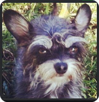Yorkie, Yorkshire Terrier/Chihuahua Mix Dog for adoption in Miami, Florida - Minnie