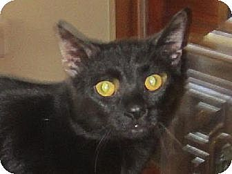 Domestic Shorthair Cat for adoption in Chicago, Illinois - Tornado