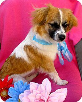 Border Collie/Australian Shepherd Mix Dog for adoption in Irvine, California - Samantha